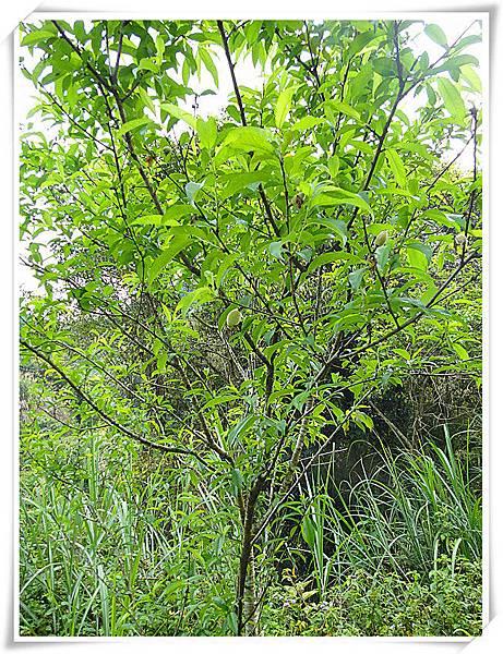 水蜜桃小果樹
