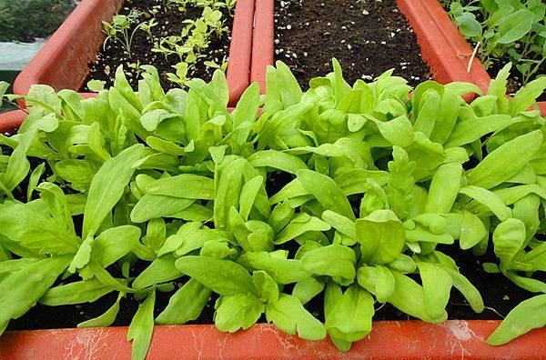 自種有機蔬菜