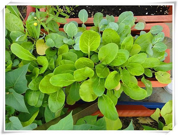 自種有機蔬菜2