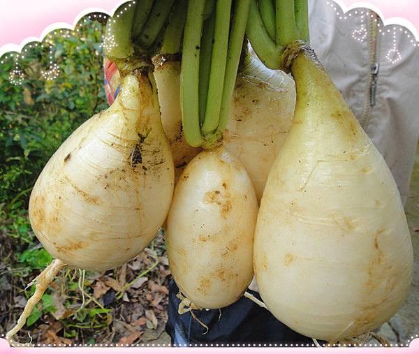 有機蘿蔔種植4.jpg