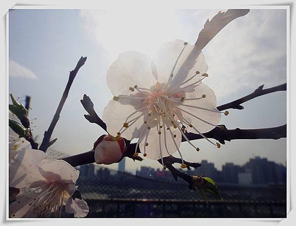 梅花盛開3.jpg