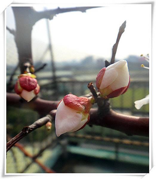 梅花盛開6.jpg