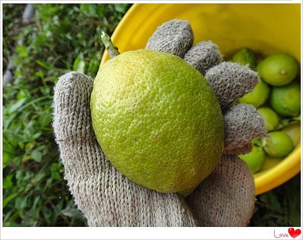 有機檸檬3.jpg