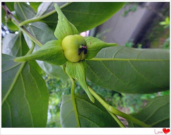 有機柿子.jpg