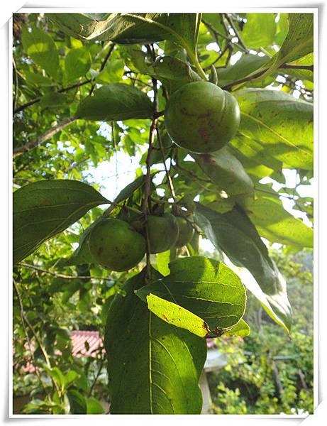 有機柿子5.jpg