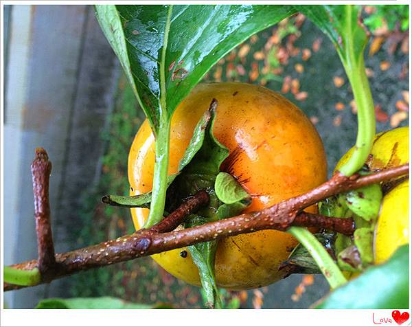 有機柿子8.jpg