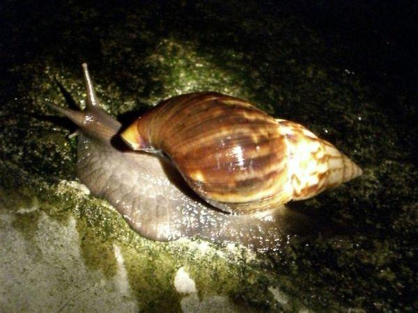 六龜竹林山莊下過雨後好多虫~第一次看到這麼大隻的蝸牛.JPG