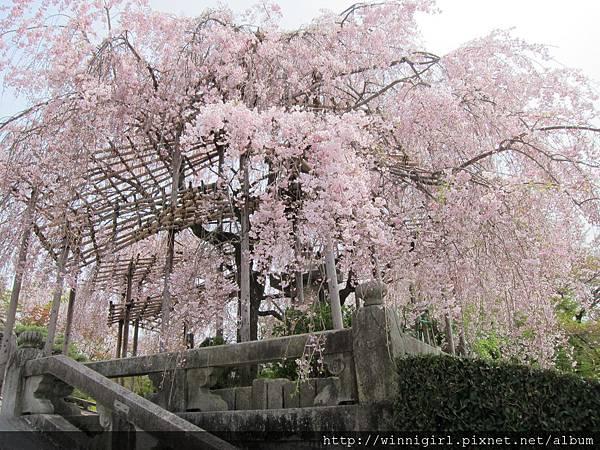 這座櫻花超美的!