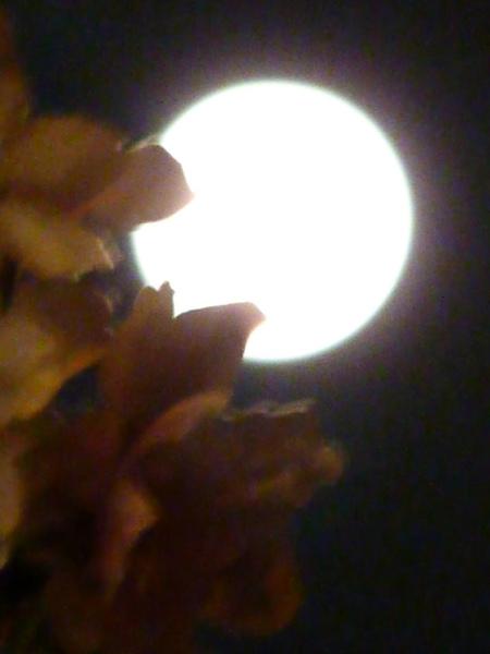 月櫻.jpg