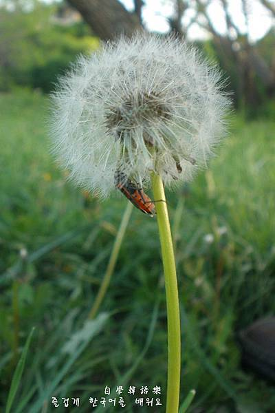 Dandelion and Insect