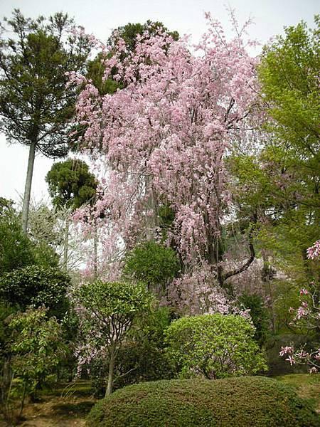 龍安寺的枝垂櫻