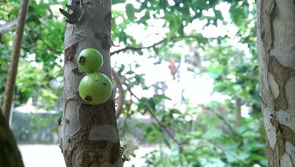 樹葡萄 (2).jpg
