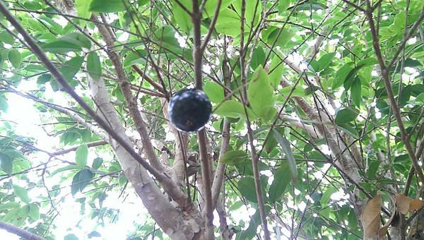 樹葡萄 (4).jpg