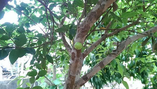 樹葡萄 (5).jpg