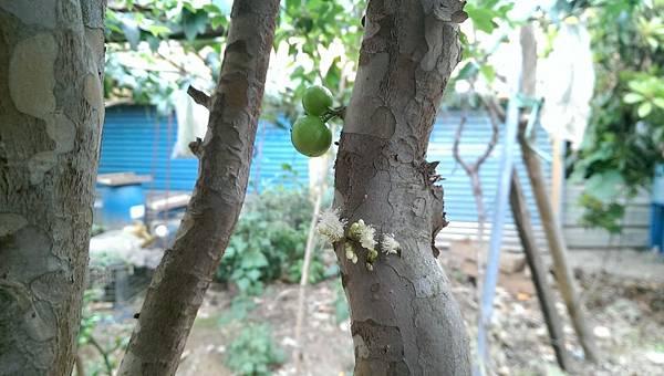 樹葡萄 (8).jpg