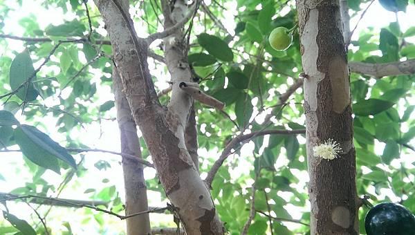 樹葡萄 (7).jpg