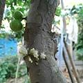 樹葡萄 (10).jpg