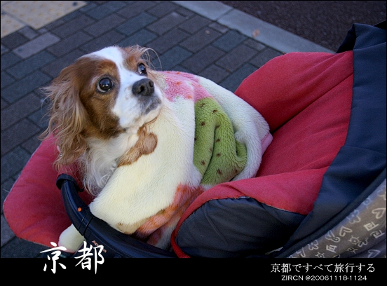 坐娃娃車又圍圍巾的狗狗