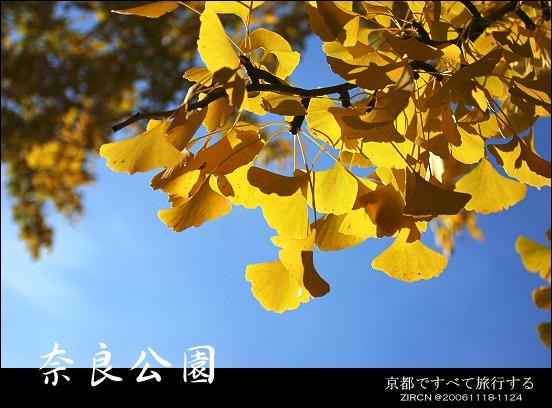 藍天下銀杏葉,另一個美景 ^^b