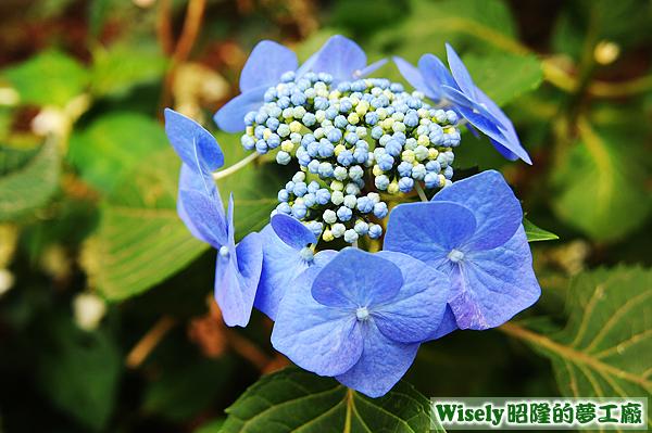紫陽花(八仙花)