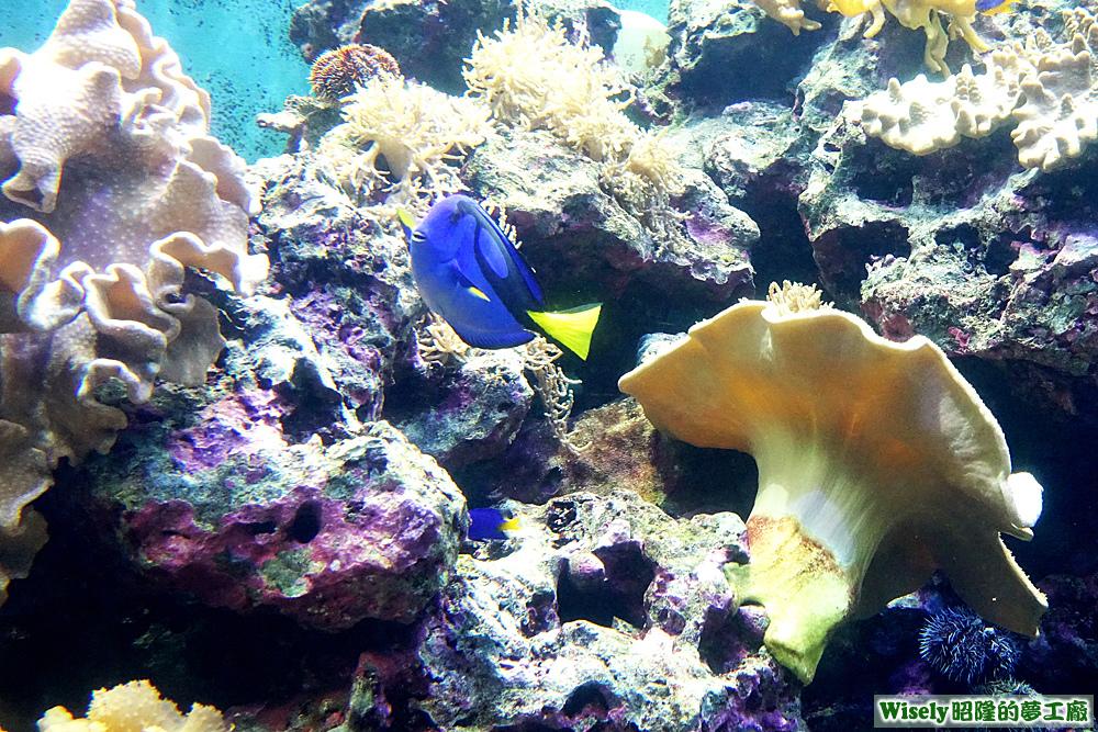 擬刺尾鯛(藍倒吊/剝皮魚/藍藻魚)