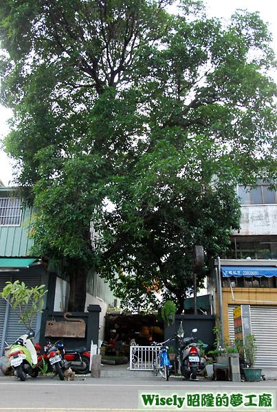 店內庭院中的芒果樹