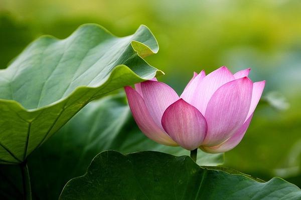 lotus-100-076.jpg