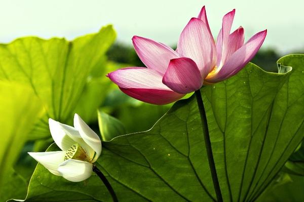 lotus-100-090.jpg