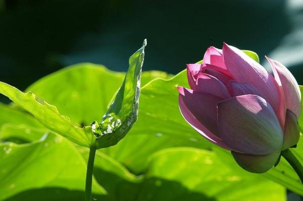 lotus-93-0012.jpg