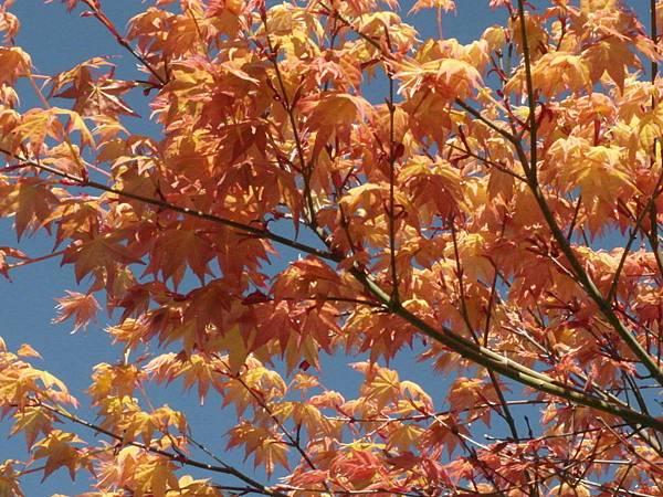 奧萬大楓葉