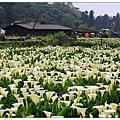 陽明山國家公園-竹子湖海芋田