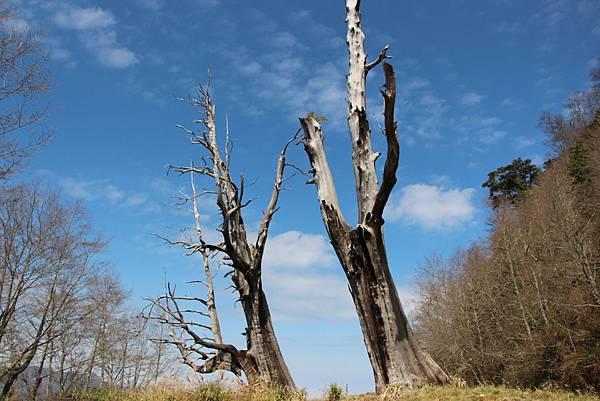 阿里山-夫妻樹