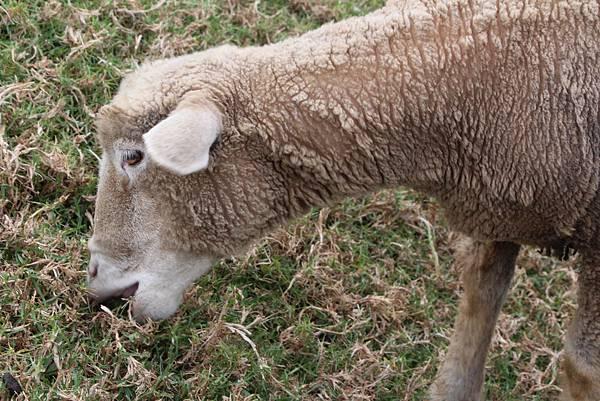 清境草原-綿羊