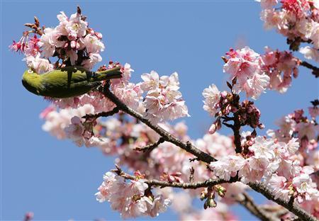 熱海櫻花花開了