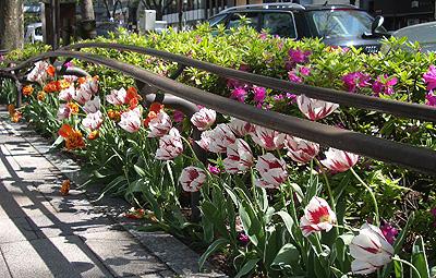 四月中是鬱金香的季節