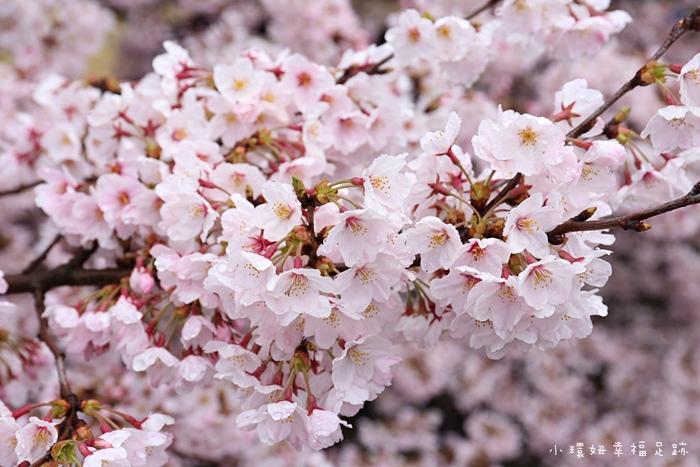 日本櫻花幾月開
