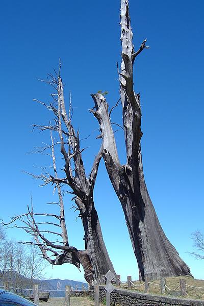 阿里山夫妻樹.JPG