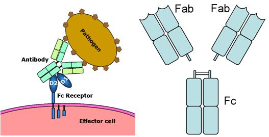 Ab-Ag Fc receptor