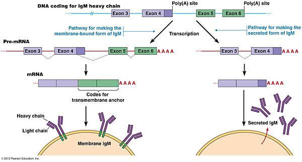 membrane bound IgM
