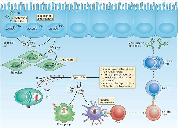 Virus Interferon type I