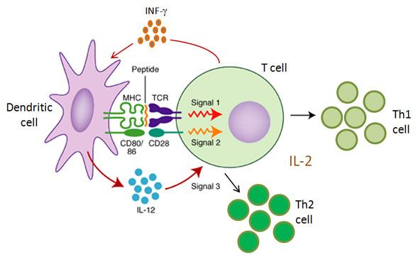 DC-T cell3