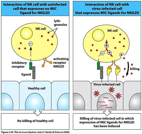 nk_cell_receptors_distinguish_unhealthy_cells_from_cell-1444EF94BF12D21AC5E