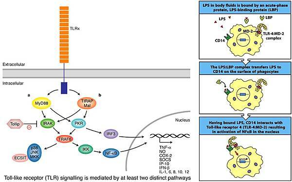 Toll-like receptor signaling.jpg