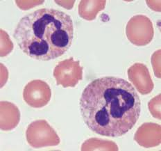 Neutrophil.jpg