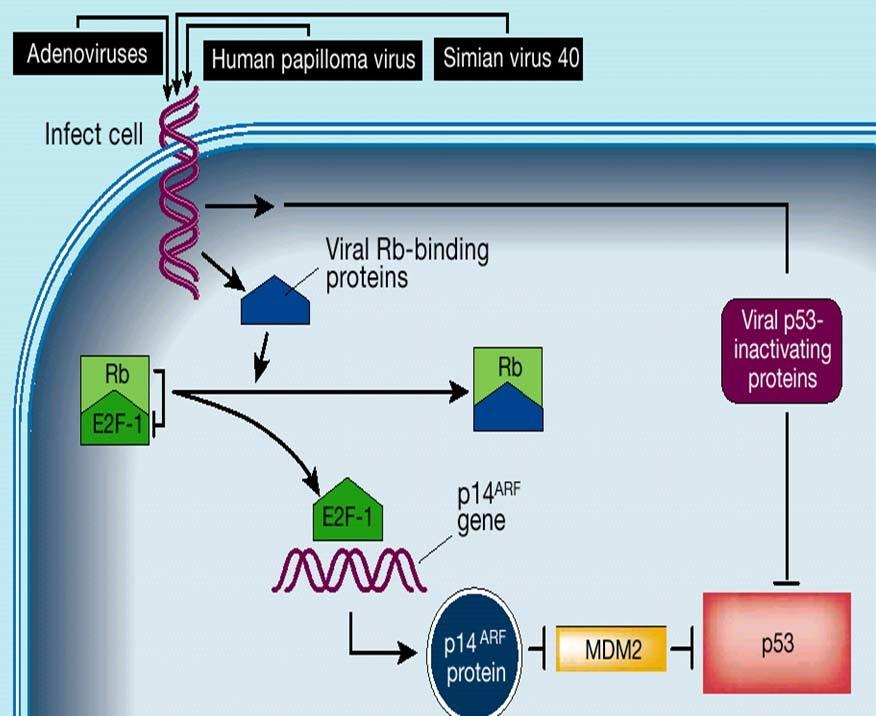 virus, rb, p53