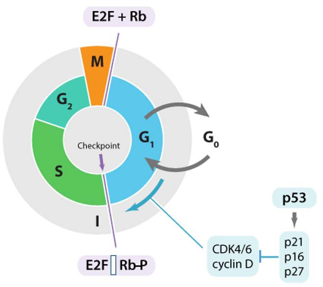 cell cycle rb p53