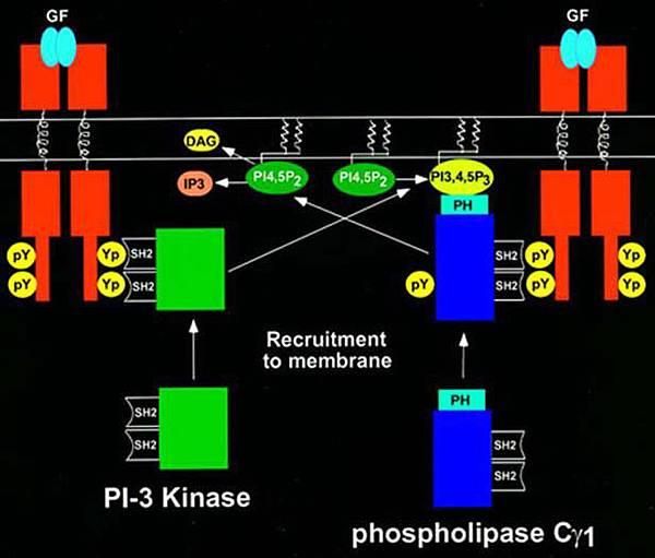 PI3K PLC interplay