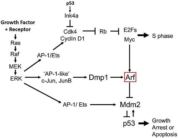 Arf p53 myc ras1