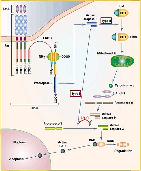 Extrinsic Intrinsic apoptosis