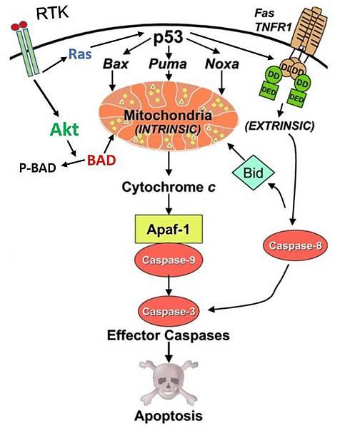 胃上皮細胞apoptosis